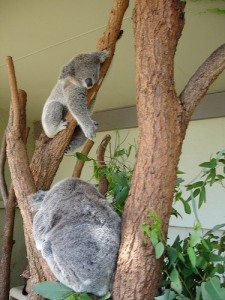 koalas9